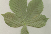 Horse-Chestnut-Leaf