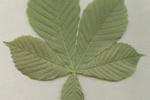 Horse-Chestnut-Leaf
