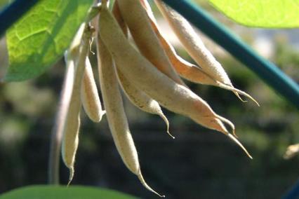 Dried-Horse-gram-pods
