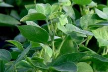 Horse-gram-Plant