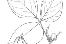 Sketch-of-Horse-gram