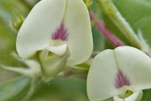 Close-up-flower-of-Horse-gram