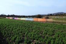 Horse-gram-farm