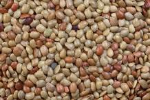 Seeds-of-Horse-gram