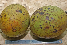 Horse-mango