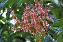 Flowers-of-Horse-Mango