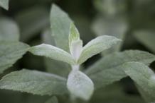 Horsemint-leaves