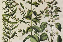 Horsemint-plant-illustration