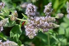 Horsemint-flower