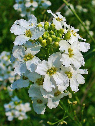 Close-up-flower-of-Horseradish