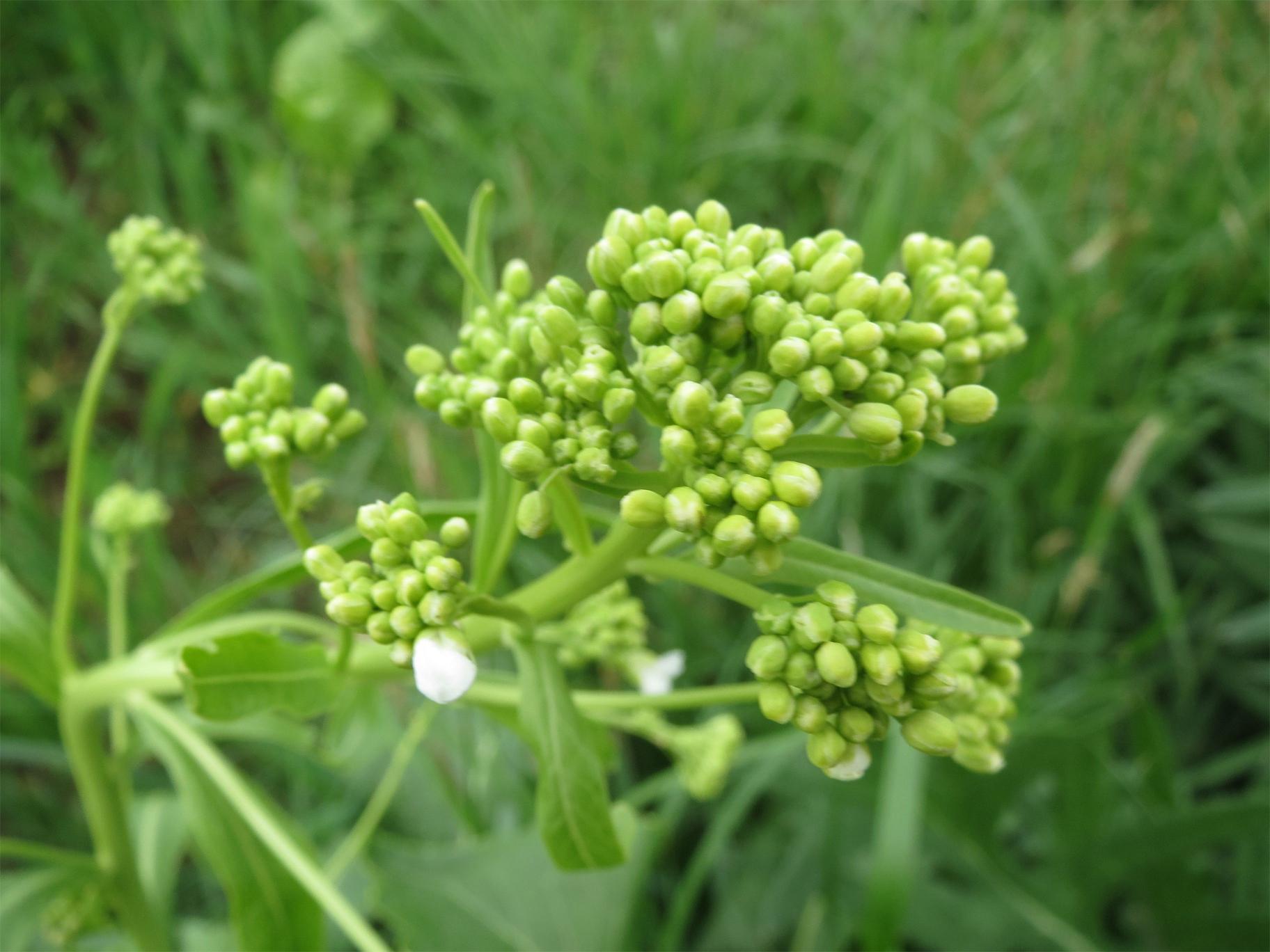Flower-bud-of-Horseradish