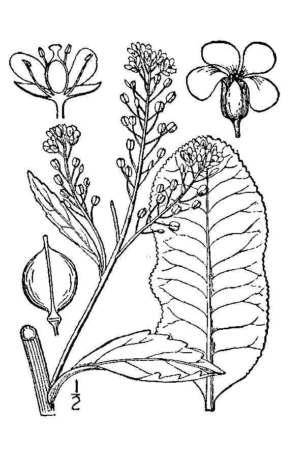 Horseradish-drawing