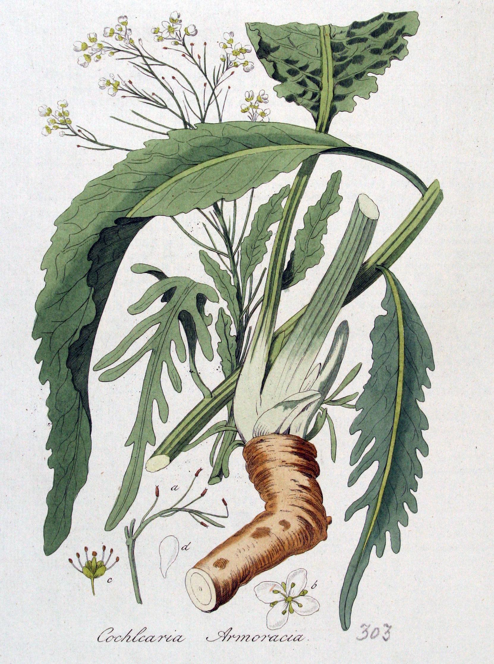 Horseradish-illustration