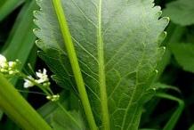 Horseradish-stem