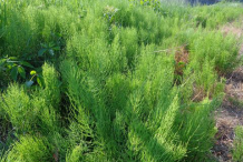 Horsetail-plant-growing-wild