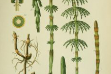 Plant-illustration-of-Horsetail