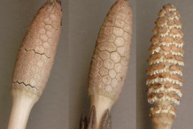 Cones-two-in-buds,-one-after-shedding-spores