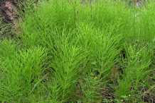 Horsetail-plants