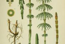 Plant-illustration-of-Horsetail