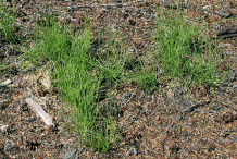 Small-Horsetail-plant