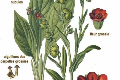 Plant-illustration-of-Hounds-Tongue