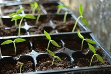 Hungarian-pepper-seedlings