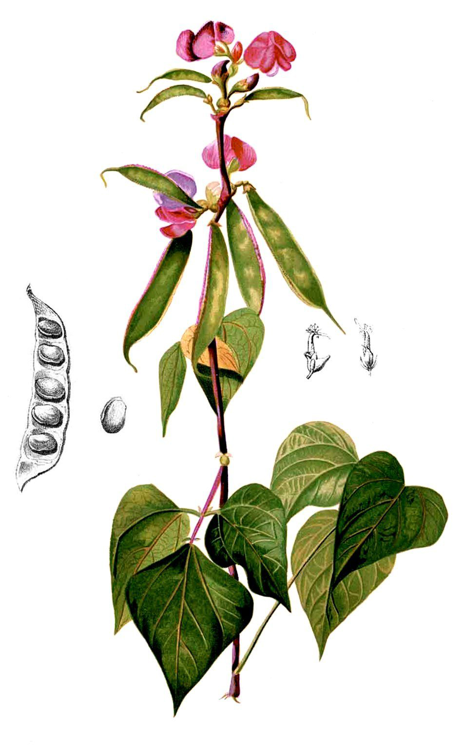 Plant-illustration-of-Hyacinth-beans