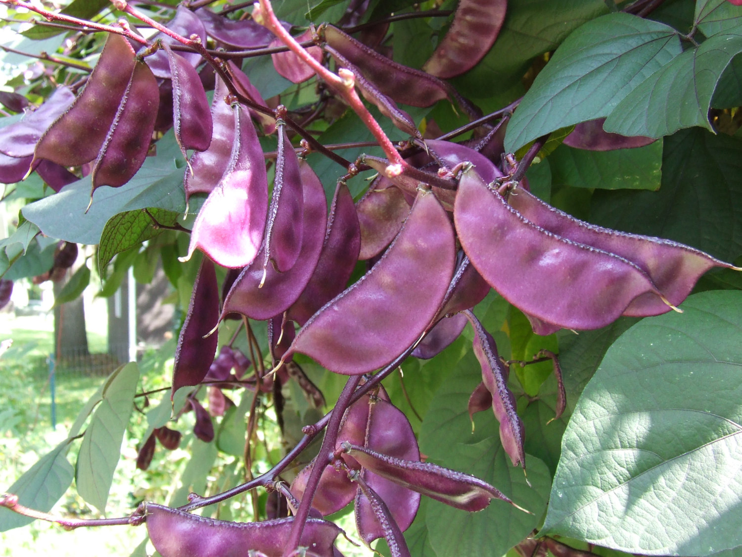 Pods-of-Hyacinth-beans