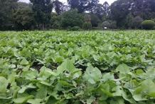 Hyacinth-beans-farm