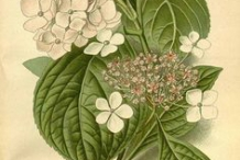 Illustration-of-Hydrangea