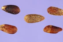 Hyssop-Seeds