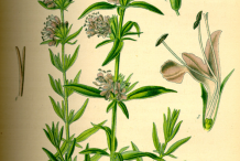 Hyssop-plant-Illustration