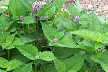Hyssop-Leaf