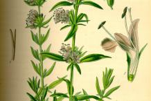 Hyssop-plant-Illustration