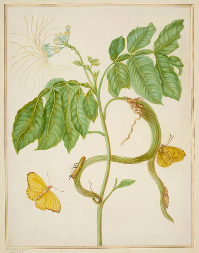 Plant-Illustration-of-Ice-Cream-Bean