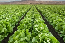Iceberg-lettuce-fields