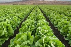 Iceberg-lettuce-fields