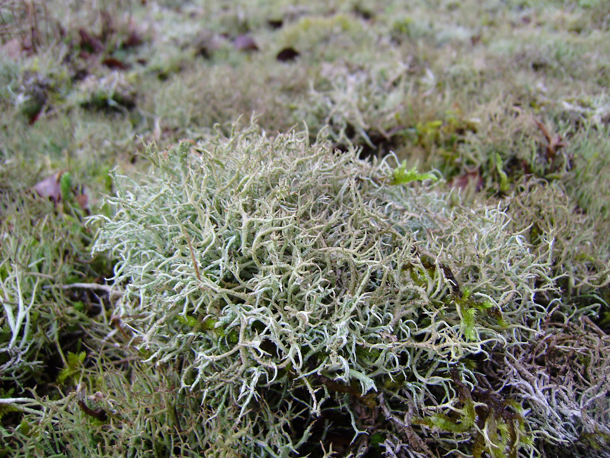 Iceland-moss-plant-growing-wild