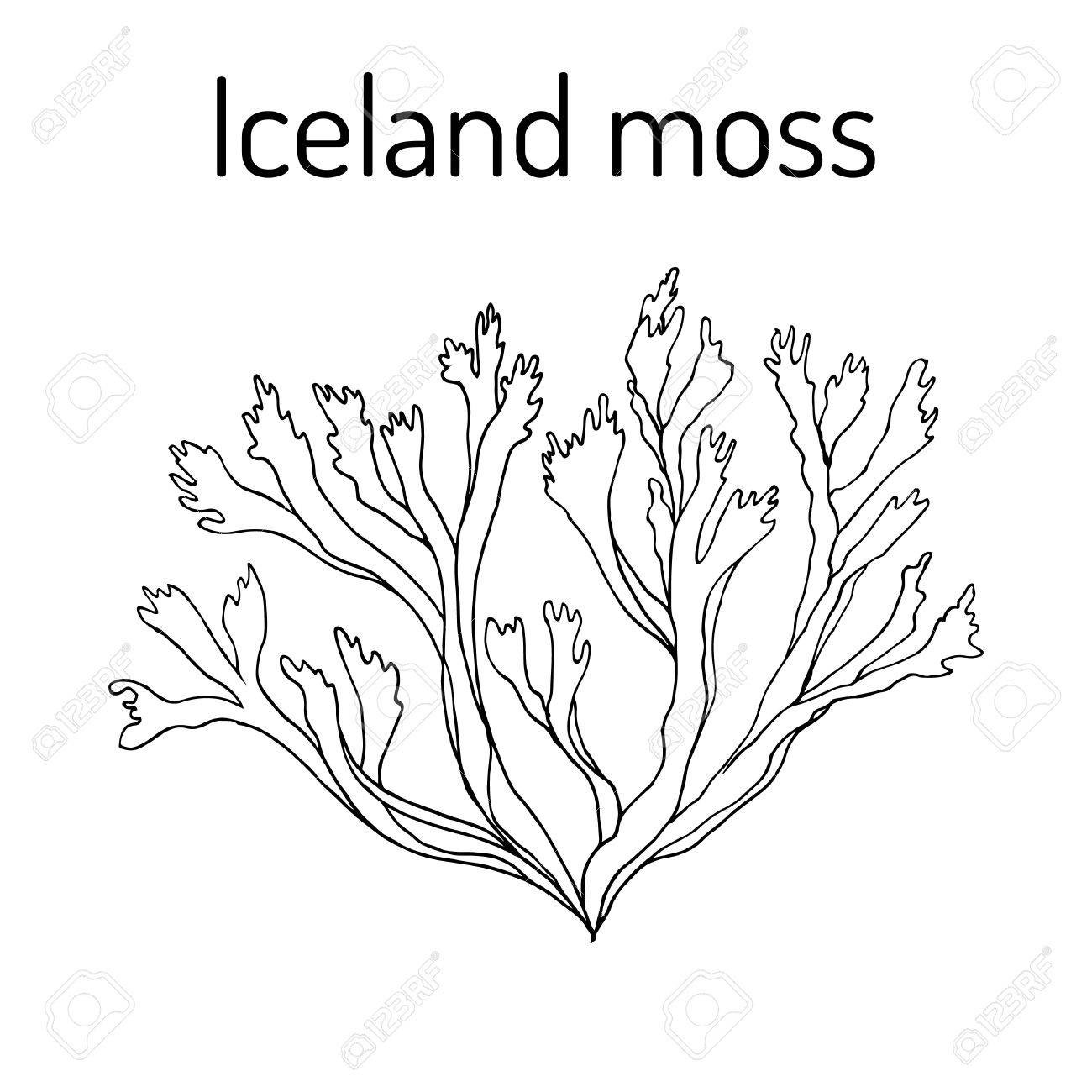 Sketch-of-Iceland-moss