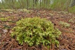 Iceland-moss-plant