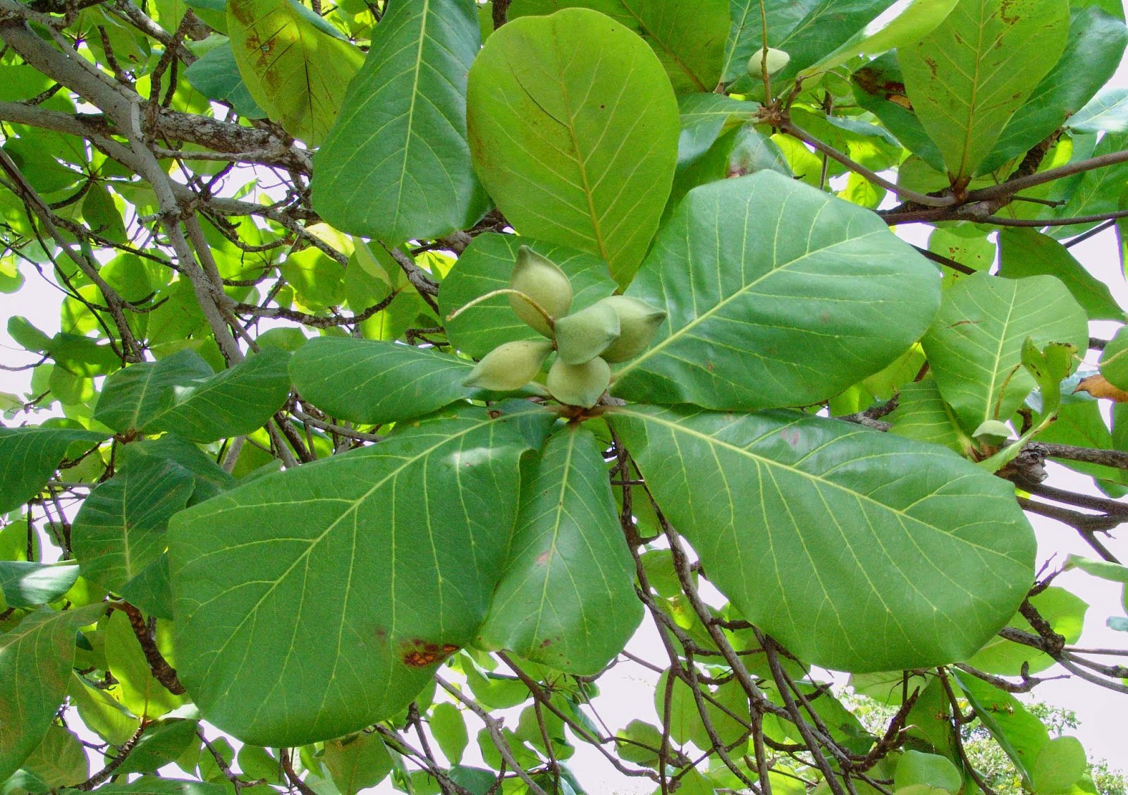 Leaves-of-Indian-almond