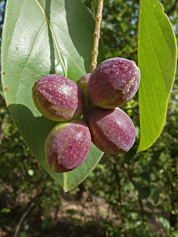 Mature-fruits-of-Indian-almond