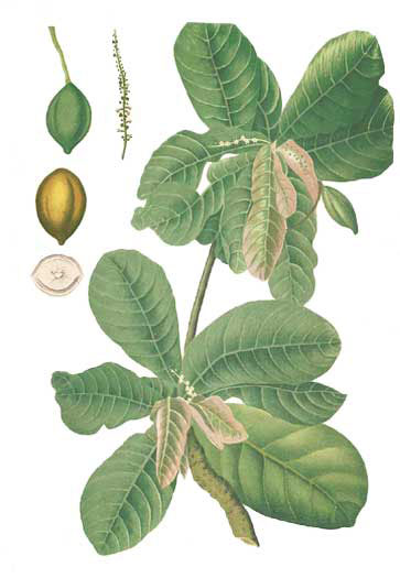 Plant-Illustration-of-Indian-almond