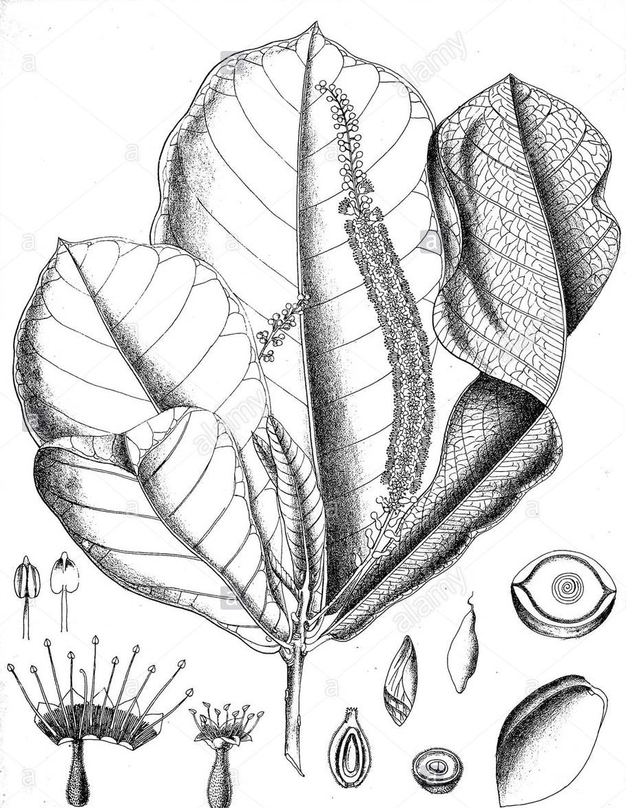 Sketch-of-Indian-almond