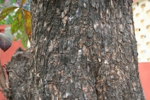 Bark-of-Indian-almond-tree