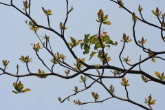Branches-with-new-leaves-and-flower-spikes-of-Indian-almond