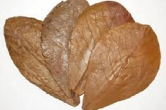 Dried-leaves-of-Indian-almond