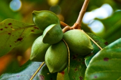 Unripe-fruit-of-Indian-almond