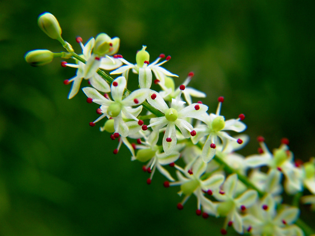 Flower-of-Indian-asparagus