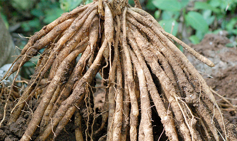Roots-of-Indian-asparagus